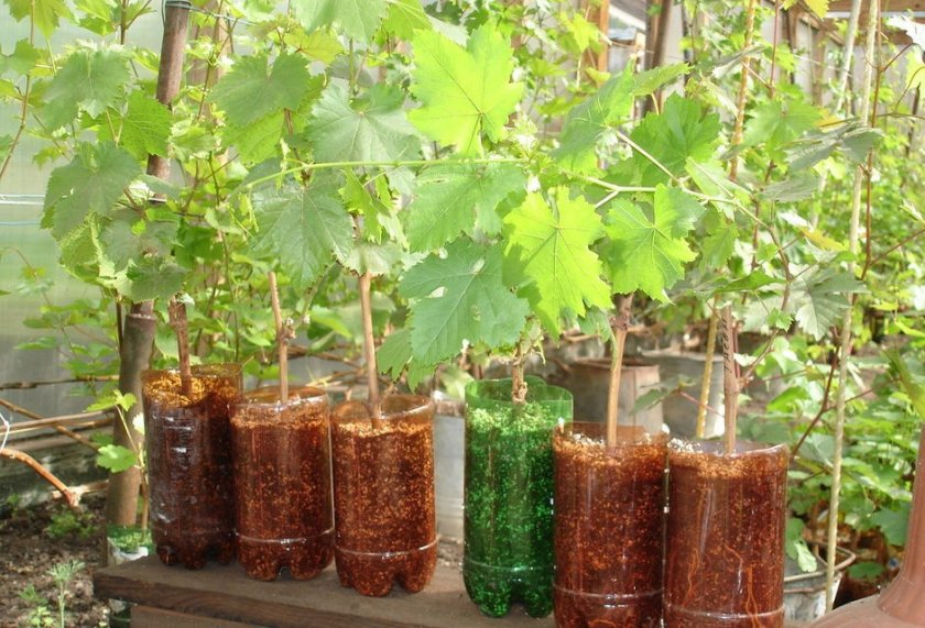 Питомник саженцев винограда
