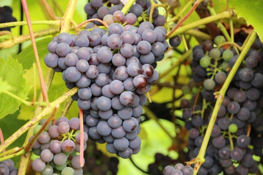 Сроки созревания винограда