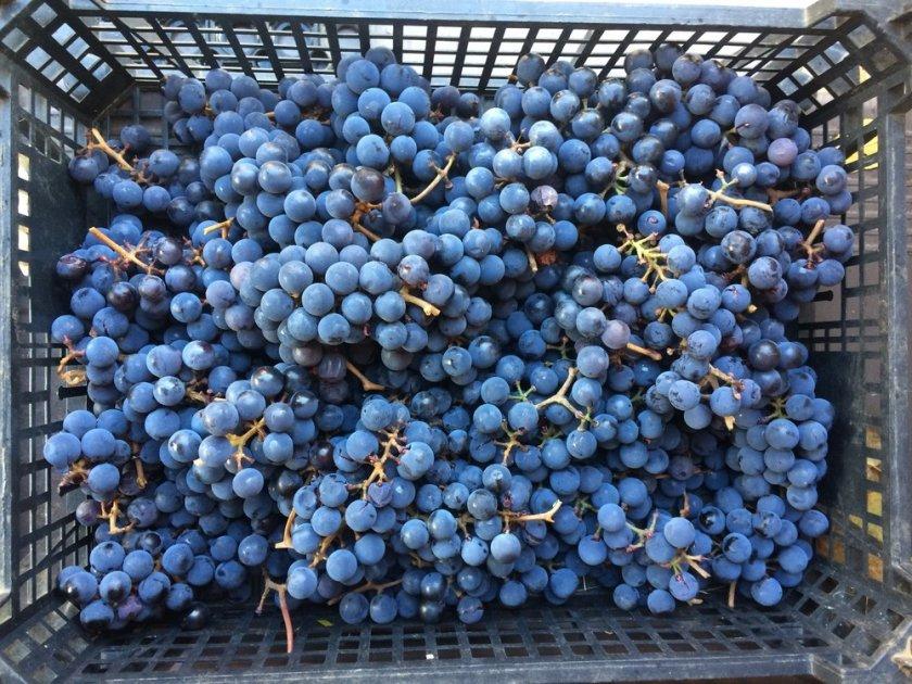 Хранение винограда изабелла