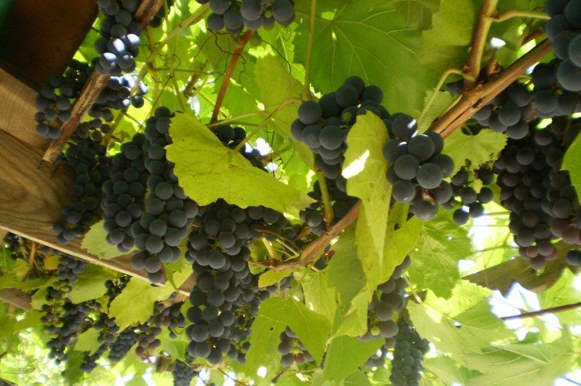 Как определить зрелость винограда изабелла