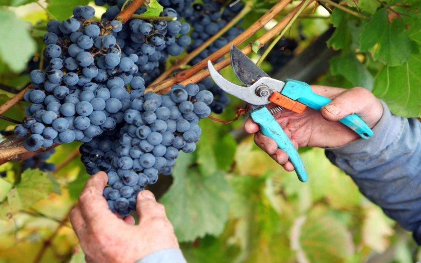 Когда собирают виноград изабелла