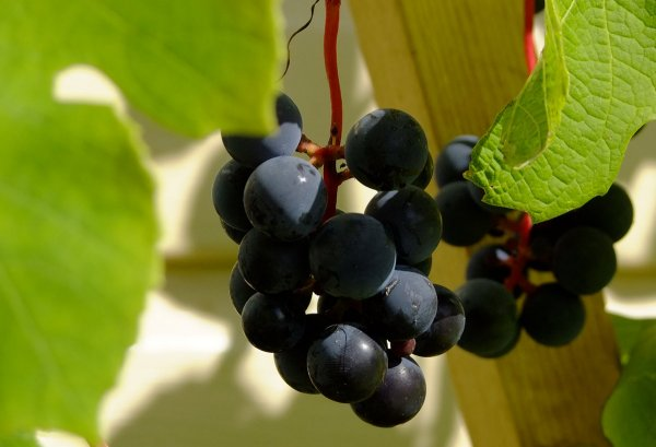 Когда созревает виноград Изабелла: как определить спелость, время сбора