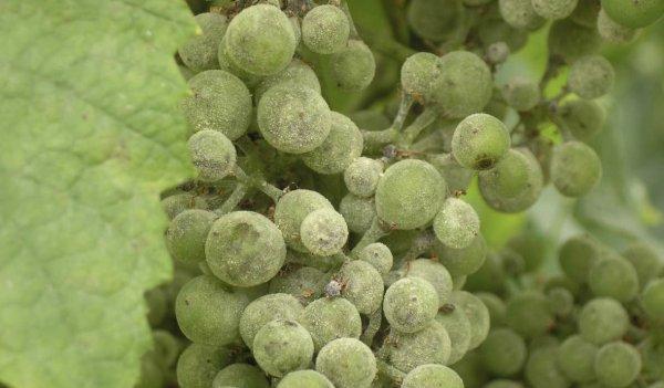 Народные методы лечения винограда. Основные болезни винограда и их лечение