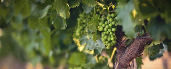 Как ухаживать за виноградом весной: пошаговые инструкции