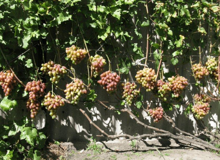 Выбор места для посадки винограда юлиан