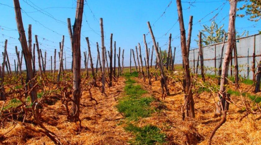 Подкормка винограда на зиму