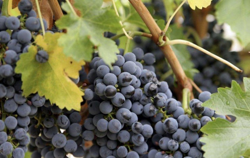 Виноград чёрный кишмиш