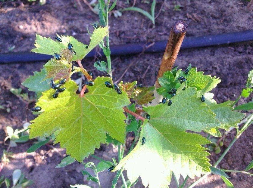 Виноградные блошки