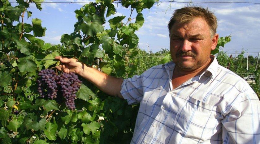 Виноград кишмиш «Запорожский»
