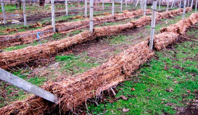 Укрывание винограда