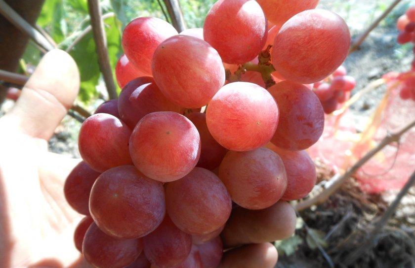 Виноград Дашенька