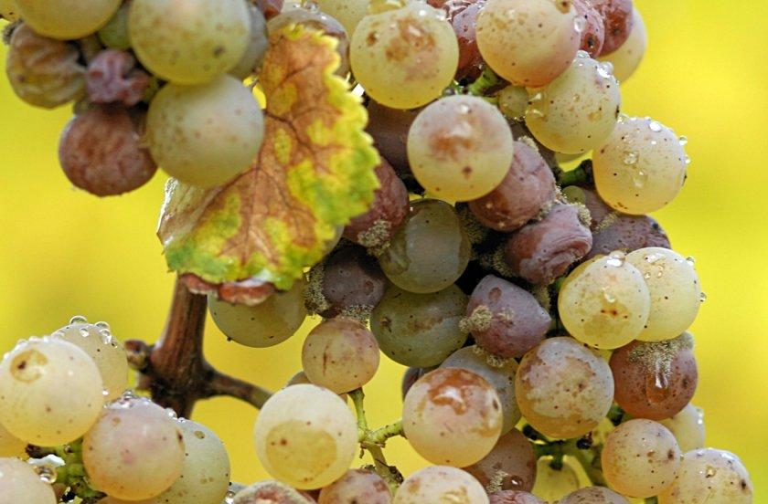 Серая гниль винограда