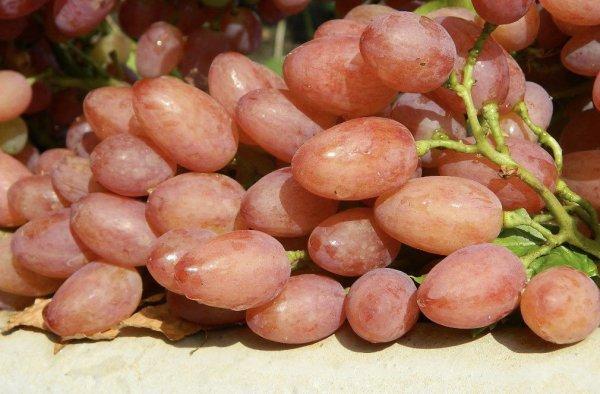 Описание и характеристики винограда сорта Кишмиш Лучистый его плюсы и минусы