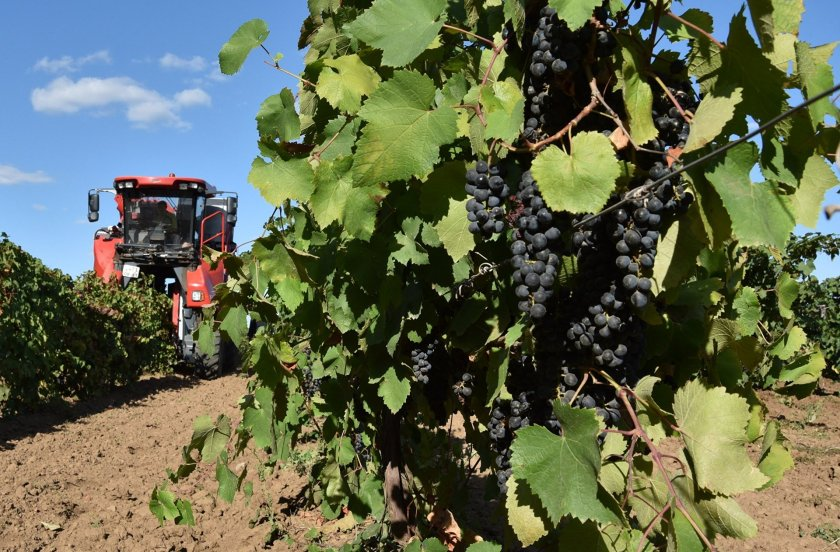Сбор урожая технических сортов винограда