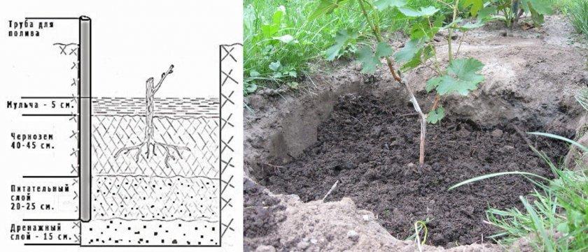 Схема посадки саженца винограда