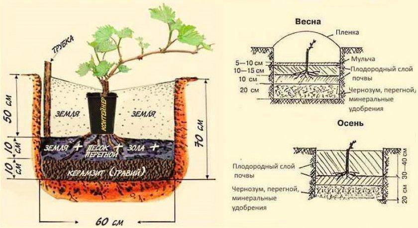 Схема посадки винограда весной и осенью