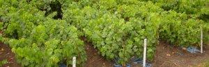 Посадка винограда осенью саженцами в грунт