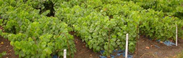 Когда лучше сажать виноград осенью или весной