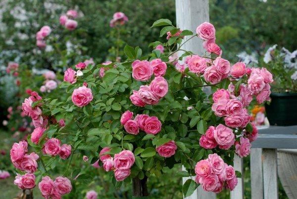 Как накрыть розы. Как укрывать штамбовые розы на зиму. Осенняя обрезка роз.