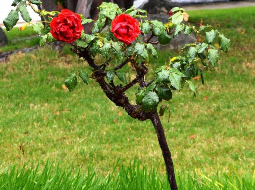 Саженец штамбовой розы