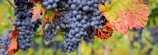 Осы едят виноград что делать сода поможет. Как защитить виноград от ос: самые эффективные методы