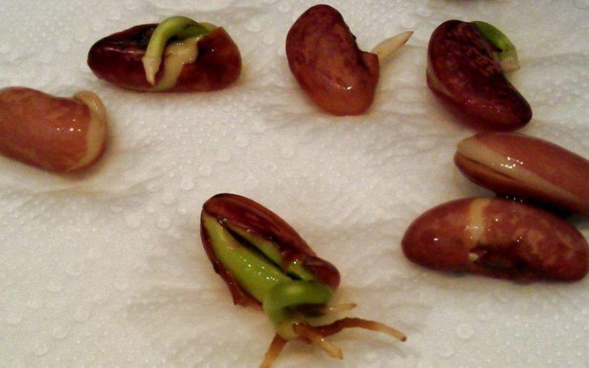 Проращивание фасоли для посадки