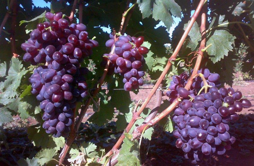 Виноград сорта шоколадный
