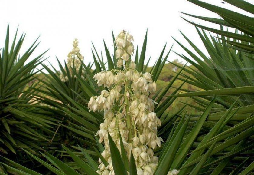 Выращивание юкки нитчатой из семян