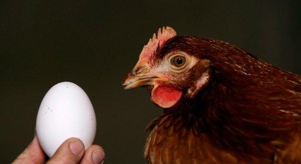 Сколько курица несет яйцо по времени
