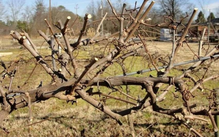 Обрезка кустов винограда
