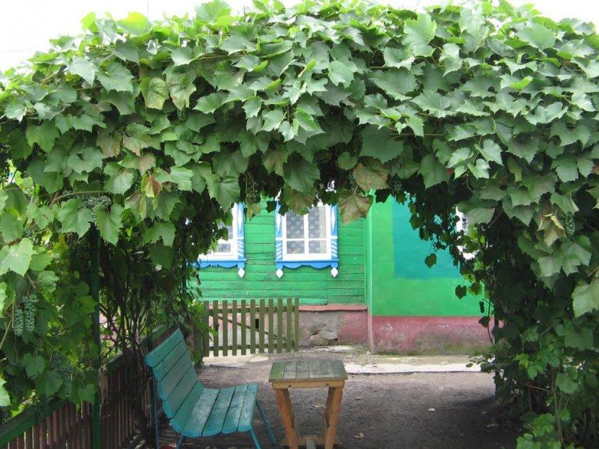 Как правильно высаживать и формировать виноград