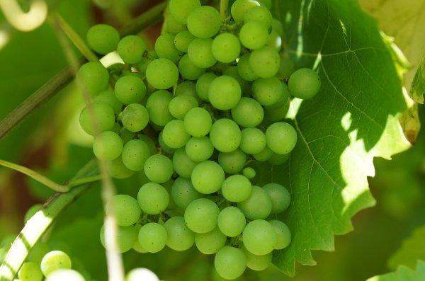 Виноград: состав, калорийность, норма в день, польза и вред для организма