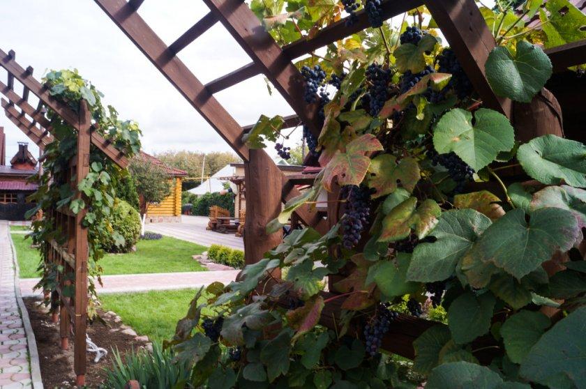 Что такое пергола для винограда