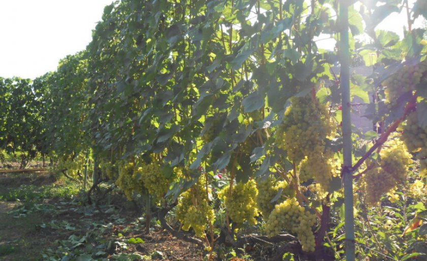 Сорт винограда Валёк