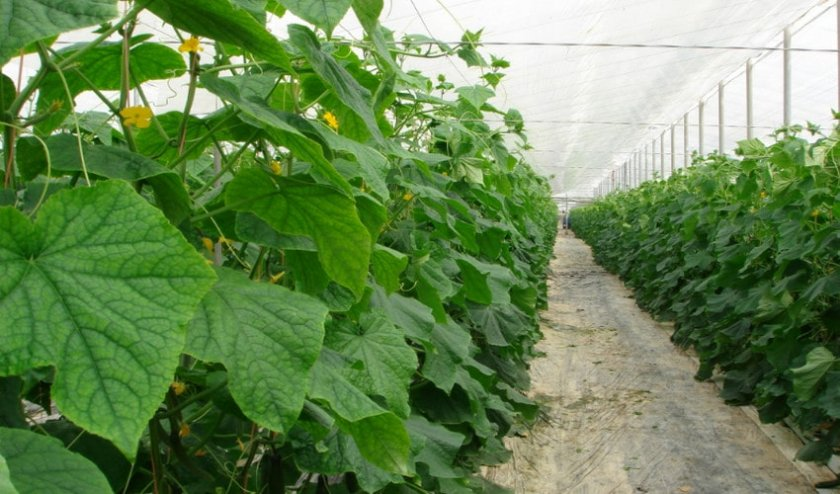 Где лучше выращивать огурцы в открытом грунте или в теплице