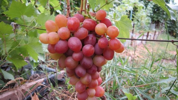 Виноград Ливия: описание сорта и характеристика