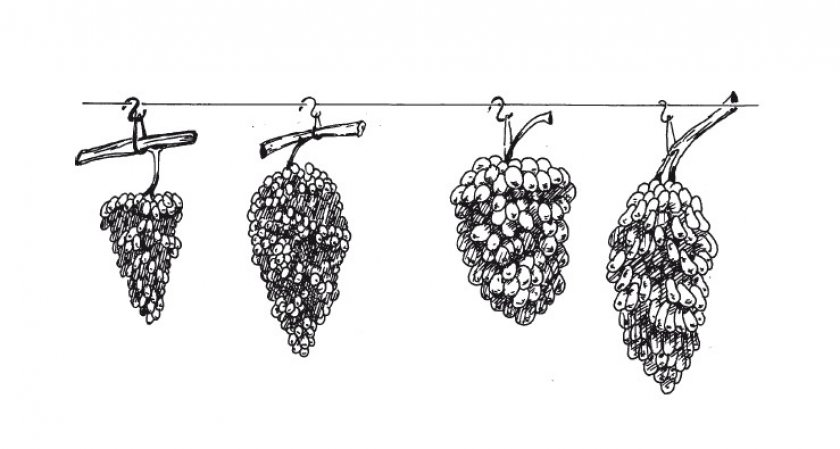Подвешивание винограда