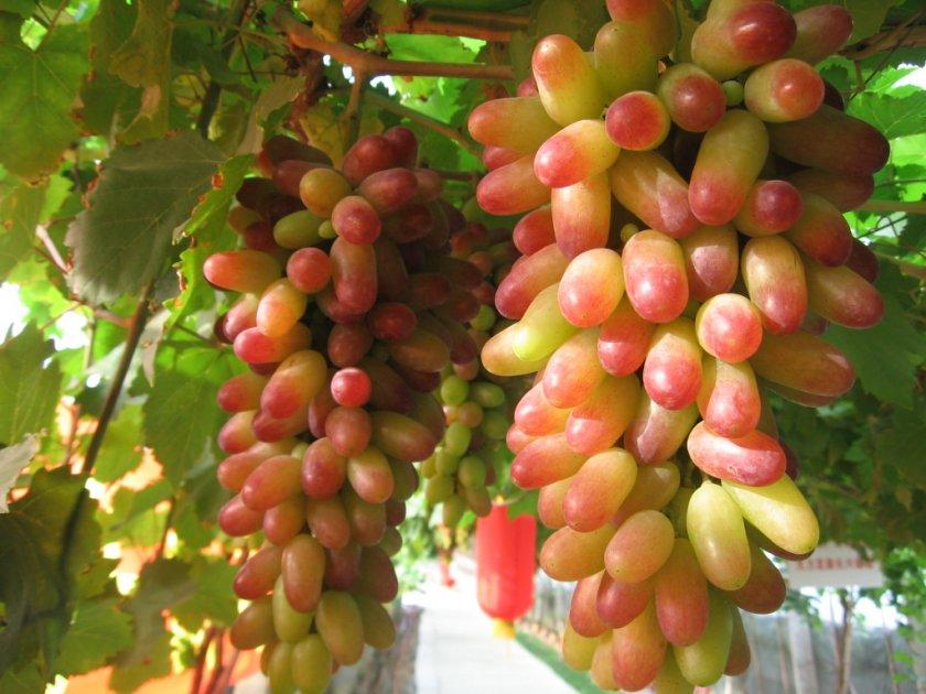 Виноград маникюр фингер