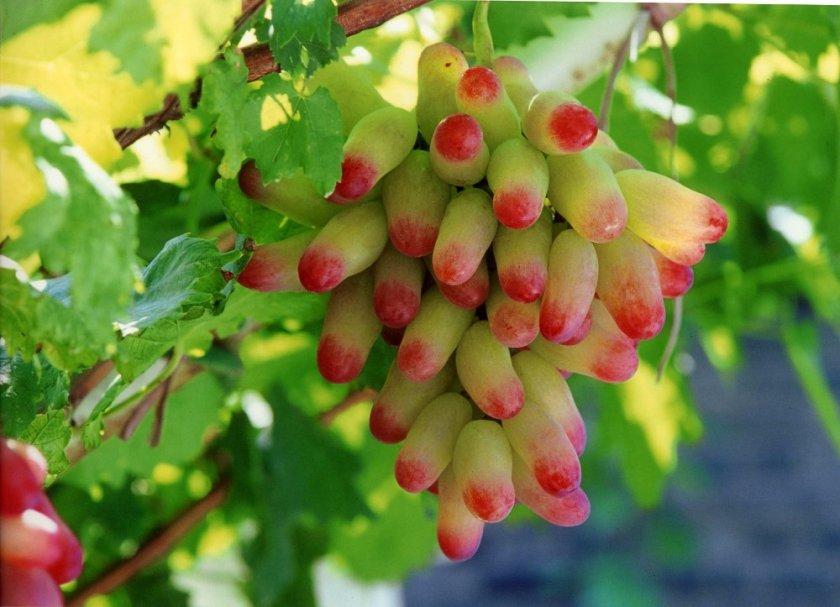 Достоинства и недостатки винограда маникюр фингер