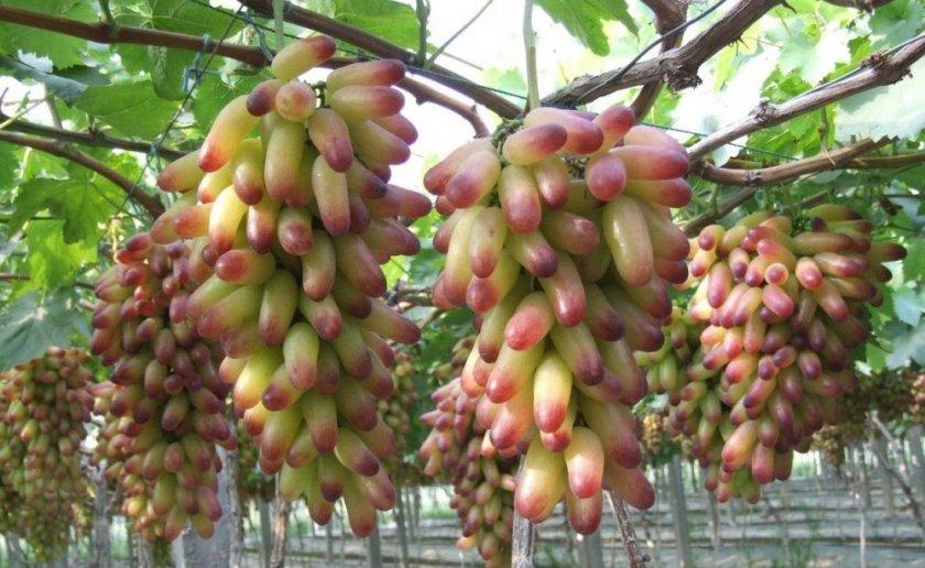 Выбор места для посадки винограда маникюр фингер