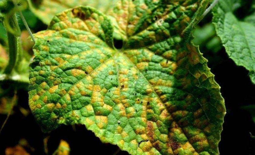 Желтые пятна на листьях
