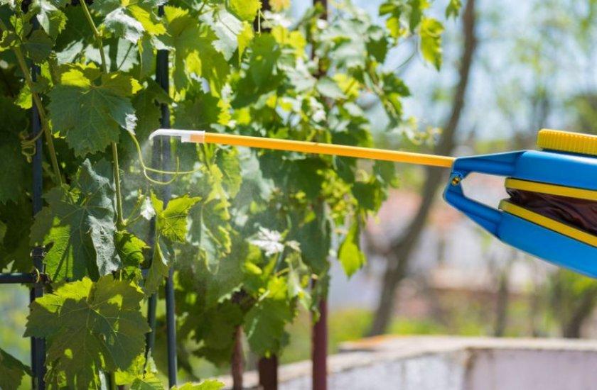 Как защитить виноград от заболеваний
