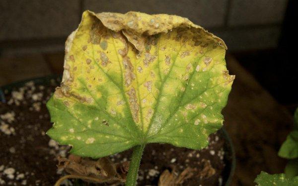 Ржавые пятна на листьях огурцов лечение как бороться