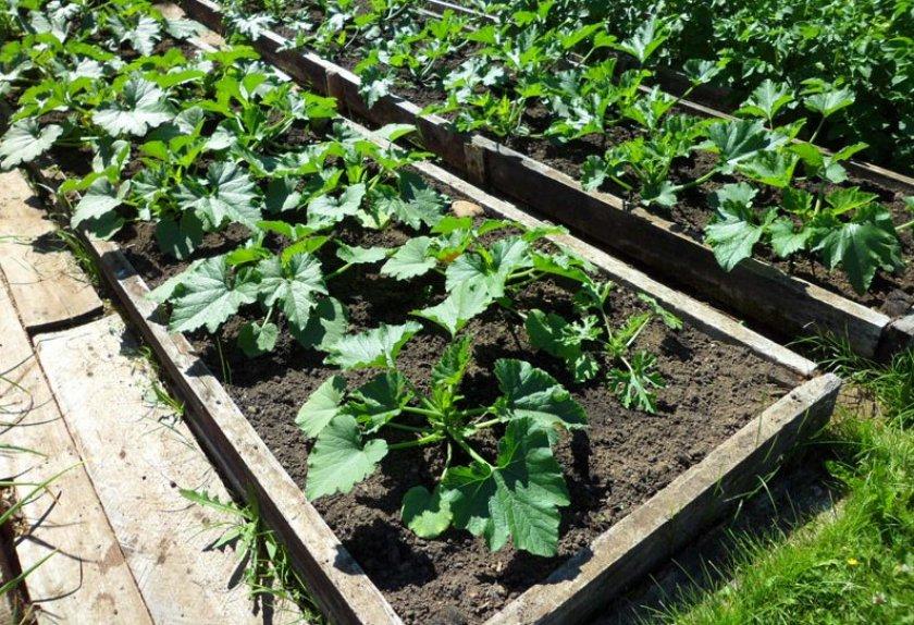 Выращивание кабачков на тёплой грядке