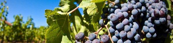 Виноград Молдова или Черный принц описание и характеристики сорта с фото