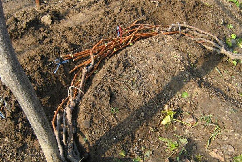 Подготовка винограда перед укрытием
