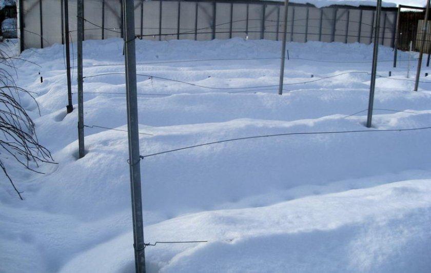 Укрытие винограда снегом