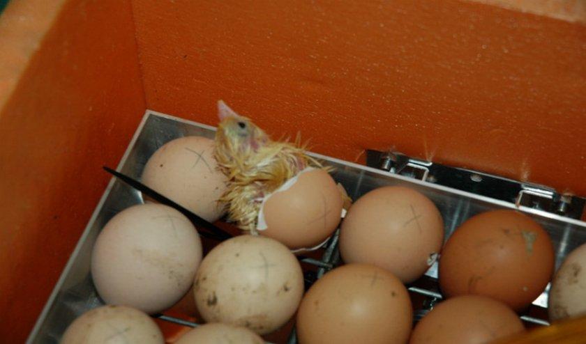 Цыплята в инкубаторе