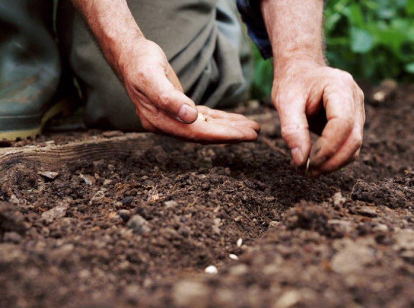 Посев семян огурцов меренга в грунт