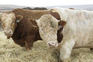 Самая мясная порода коров